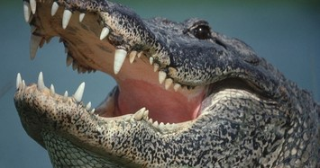 Phát hiện bộ phận thi thể người trong dạ dày của con cá sấu