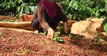 Giá cà phê hôm nay 10/12: Tăng mạnh 2 phiên liên tiếp từ đầu tuần, bà con nông dân vui
