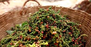 Giá hạt tiêu thấp nhất thị trường còn 63.500 đồng/kg