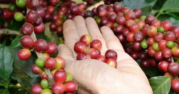 Giá nguyên liệu hôm nay 6/11: Cà phê, tiêu đồng loạt giảm mạnh