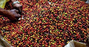 Giá cà phê quay đầu giảm, giá tiêu không biến động