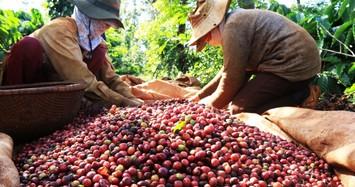 Giá cà phê tiếp tục giảm, giá tiêu đi ngang phiên cuối tuần