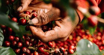 Giá cà phê hôm nay 28/10 tiếp tục tăng, giá tiêu chững lại