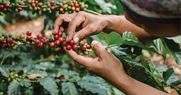 Giá cà phê hôm nay 8/3: Giảm nhẹ phiên đầu tuần