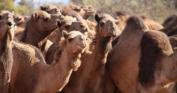 Cháy rừng hoành hành, Australia giết 10.000 lạc đà vì uống nước quá nhiều