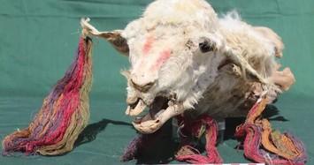 Hãi hùng cách người Inca hiến tế bằng xác ướp lạc đà