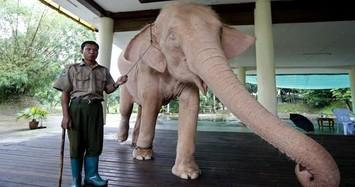 Vì sao voi trắng được người dân Myanmar chọn làm linh vật tượng trưng cho thịnh vượng, may mắn?