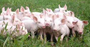 Chăn nuôi Phú Sơn gặp khó, ước lãi chưa đến 1 tỷ đồng trong quý 3
