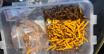 Bắt giữ lô Đông trùng hạ thảo Tây tạng khủng được bán qua facebook 'Thuỷ Phạm'
