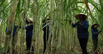 Bán 2,3 triệu cổ phiếu quỹ khi thị giá èo uột, Mía đường Lam Sơn khó càng thêm khó?