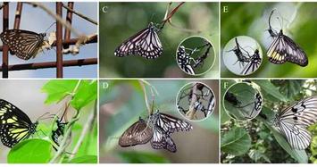 Tận mục loài bướm cực hung dữ và giết chóc