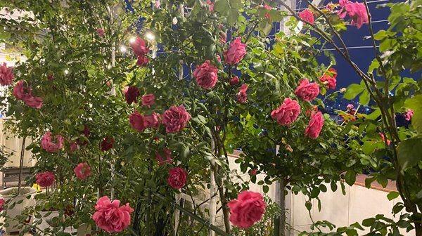 Cận cảnh vườn hoa hồng trăm triệu trên sân thượng của Phan Hiển - Khánh Thi