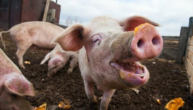Giá heo hơi hôm nay: Tiếp tục giảm trên diện rộng, người chăn nuôi lỗ nặng