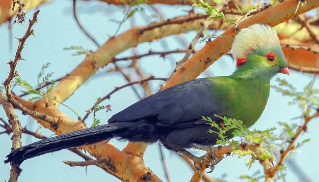Độc đáo loài chim tiêu quyên chỉ có ở châu Phi