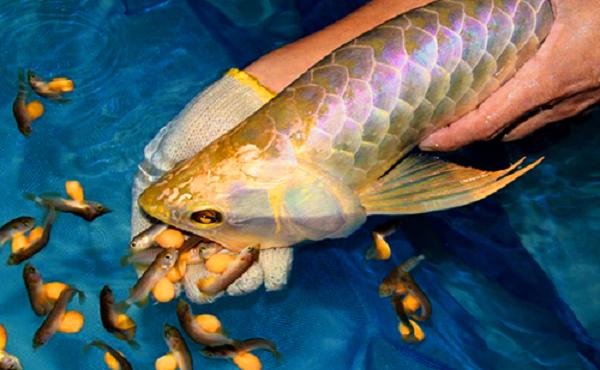Kinh ngạc loài cá có giá lên đến cả tỷ đồng