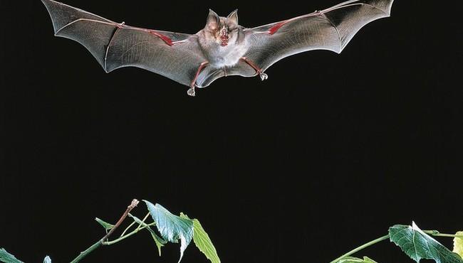 Loài dơi bị nghi gây ra virus SARS-CoV-2