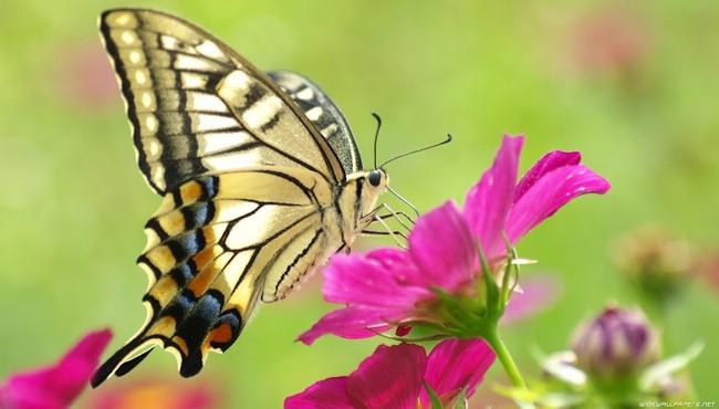 Tìm hiểu nghệ thuật trốn kẻ thù bậc thầy của loài bướm