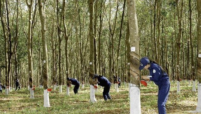 Cao su Đắk Lắk chốt quyền chia cổ tức tiền mặt tỷ lệ 3%